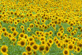 Marches (Italy) - Sunflowers Stock Image