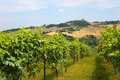 Marches (Italy) - Vineyards Stock Photo