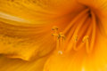 Marco shot of a orange lily stamen stigma and pollen pistils in bloom Royalty Free Stock Photo