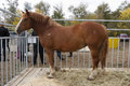 Mare breed russian heavy draft photo taken at the agro industrial exhibition silk road in the city of orenburg russia Stock Photo