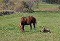 Mare and colt a her graze rest under the fall sun in a fall pasture Royalty Free Stock Image