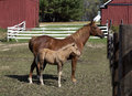 Mare and colt a her stand under the fall sun in a corral Royalty Free Stock Photos