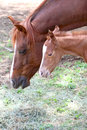 Mare and colt one day old standing together Royalty Free Stock Photography