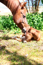 Mare and colt one day old standing together Royalty Free Stock Images