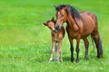 Mare with colt Royalty Free Stock Photo