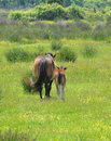Mare and colt walking together in flowery meadow Royalty Free Stock Image