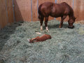 Mare eating and tending her foal Royalty Free Stock Photo