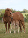 Mare Feeding Her Foal Stock Photography