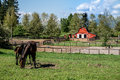 Mare and filly grazing in a meadow near fort langley british columbia with their red barn the background Royalty Free Stock Photo