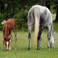 Mare and Foal Stock Image