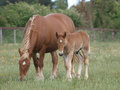 Mare and Foal Royalty Free Stock Photography