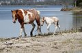 Mare & Foal by the bay Royalty Free Stock Photo