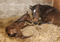 Mare with foal after birth Royalty Free Stock Photo
