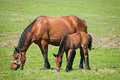 Mare and Foal eating Stock Photo