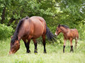 Mare and foal her colt in pasture Royalty Free Stock Image