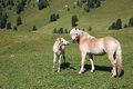 Mare and foal on meadow in south tyrol Royalty Free Stock Photo