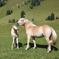 Mare and foal on meadow in south tyrol Royalty Free Stock Photos