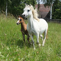 Mare with foal on pasturage running green Royalty Free Stock Photography