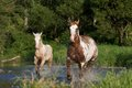 Mare with foal running nice Royalty Free Stock Photography