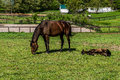 Mare Grazing and Filly Laying Down Royalty Free Stock Photo
