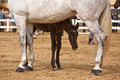 Mare with her foal in a contest of horses of pure spanish race los barrios cadiz province andalusia spain Stock Photo