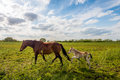 Mare and her foal walking on a sunny day Royalty Free Stock Photo