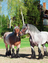 Mare and stallion of brabant breed Royalty Free Stock Photo