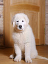 Maremma puppy indoors looking curious Royalty Free Stock Photos
