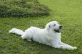 Maremmano abruzzese italian breed dog sheepdog usually referred to as just maremmano rests pure green grass Stock Image