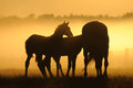 Mares with foals against the dawn a herd of horses at dawn horses come in a landscape at sunrise Stock Photos