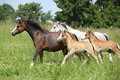 Mares and foals running on pasturage nice green Royalty Free Stock Photos