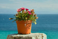 Margarete potted daisies in a pot on a concrete pillar photographed in litihoro in greece under mount olympus Stock Image