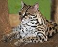 Margay cat or Caucel ,feline reserve, nicaragua, Royalty Free Stock Photo