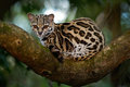 Margay, Leopardis wiedii, beautiful ocelot cat sitiing on the branch in the costarican tropical forest Royalty Free Stock Photo