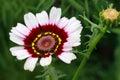 Margriet Rainbow Flower Chrysanthemum carinatum