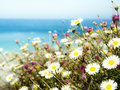 Marguerite daisy daisies on a cliff wall overlooking the sea Royalty Free Stock Photos
