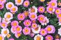 Pink Summer Daisy Royalty Free Stock Photo