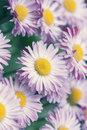 Marguerite en pastel de ressort Photos stock