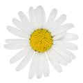 Marguerite flower blossom of isolated on a white background Royalty Free Stock Photos