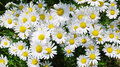 Marguerite flowers Royalty Free Stock Photo
