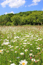 Marguerite meadow and wood against blue sky Royalty Free Stock Image