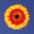 Marguerite orange de gerbera Photographie stock libre de droits