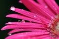 Marguerite rose de Gerber Image libre de droits