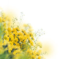 Marguerites jaunes sur le blanc Photo stock