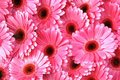 Marguerites roses lumineuses de Gerbera Photo libre de droits
