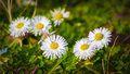 Marguerites white blooming in the springtime sunshine Royalty Free Stock Images