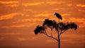 Maribou Stork on Tree With Orange Sunrise Sky Royalty Free Stock Photo