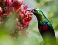 Marico sunbird in green a eating from bright red flowers surrounded by leaves Royalty Free Stock Image