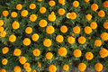 Marigold background Royalty Free Stock Photo