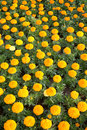 Marigold background Royalty Free Stock Images
